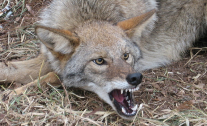 N J Woman Walking Dog Narrowly Escapes Terrifying Coyote